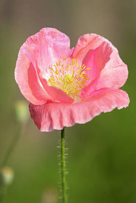 Photograph - Shirley Poppy 2018-18 by Thomas Young