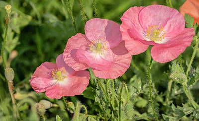 Photograph - Shirley Poppy 2018-21 by Thomas Young