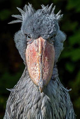 Photograph - Shoe-billed Stork by Arterra Picture Library