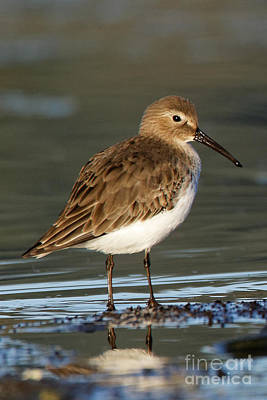 Photograph - Shoreline Dunlin by Sue Harper