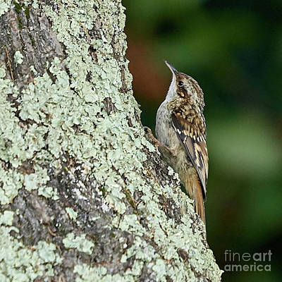 Scifi Portrait Collection - Short-toed Treecreeper Certhia brachydactyla by Pablo Avanzini