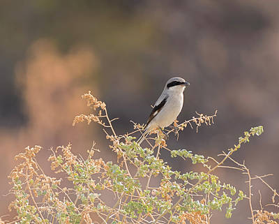 Photograph - Shrike In The Morning Light by Loree Johnson