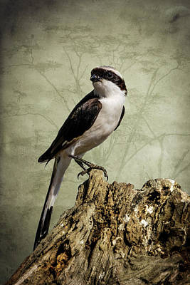 Photograph - Shrike Of The Serengeti by Mary Lee Dereske