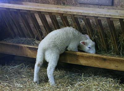 Photograph - Shy Little Lamb by The Art Of Marilyn Ridoutt-Greene