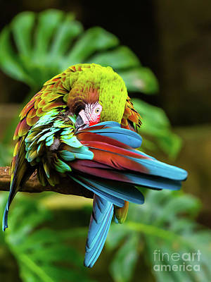 Shy Parrot Art Print