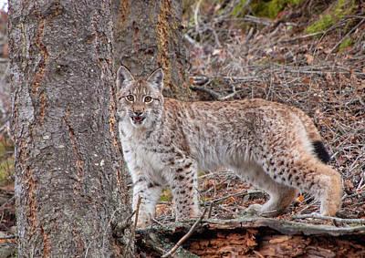 Photograph - Siberian Lynx Kitten 2387 by Teresa Wilson