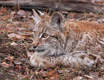 Photograph - Siberian Lynx Kitten 2805  by Teresa Wilson