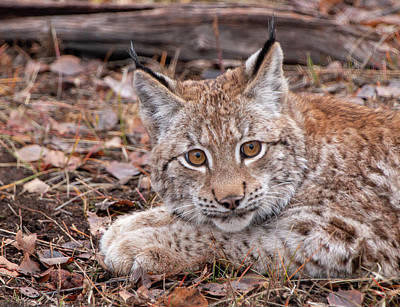 Photograph - Siberian Lynx Kitten 2811  by Teresa Wilson