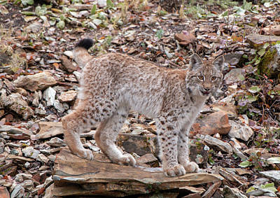 Photograph - Siberian Lynx Kitten 2862 by Teresa Wilson