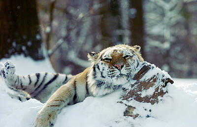 New York City Photograph - Siberian Tiger At The Bronx Zoo Is by New York Daily News Archive