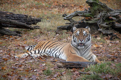 Photograph - Siberian Tiger Lounging In Fall Leaves By Tl Wilson Photography  by Teresa Wilson