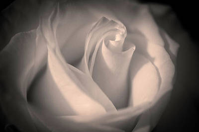 Photograph - Silky Pastel Rose by Max Huber