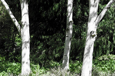 Photograph - Silver Birch Trees by Helen Northcott