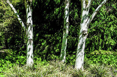 Photograph - Silver Birch Trees II by Helen Northcott