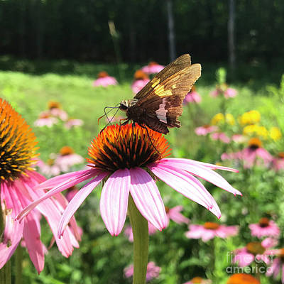 Photograph - Silver Spotted Skipper And Echinacea 1 by Amy E Fraser