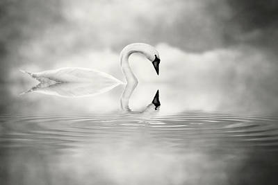 Photograph - Simply Swan by Jody Trappe Photography