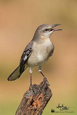 Photograph - Singing Mockingbird by David Cutts