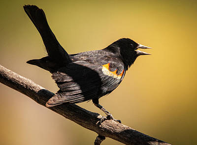 Photograph - Singing Red-winged Black Bird by Philip Rispin