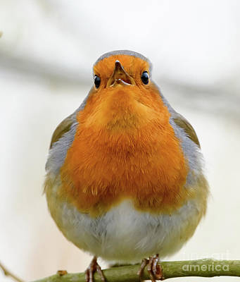 Photograph - Singing Robin by Colin Rayner