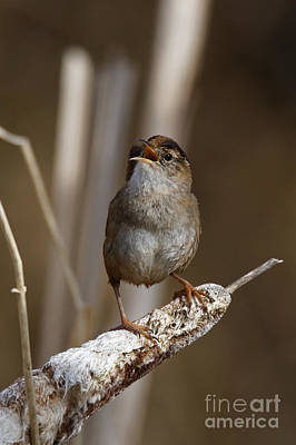 Photograph - Singing Wren by Sue Harper