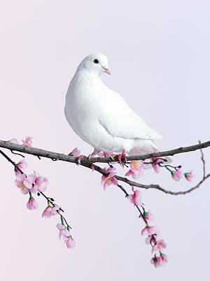 Branch Photograph - Single Dove On A Branch With Blossom by Walker And Walker