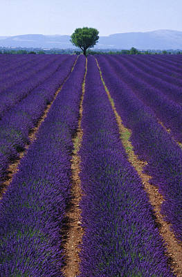 Photograph - Single Tree In The Middle Of Lavender by Nacivet