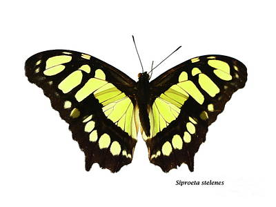 Animals Photos - Siproeta stelenes by Save the Insects