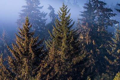 Photograph - Sitka Spruce Trees And Fog by Robert Potts