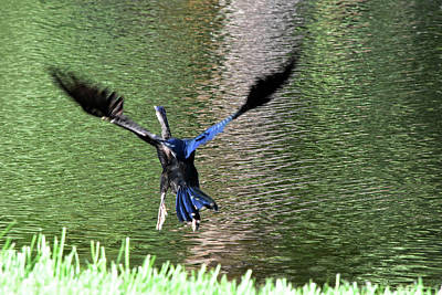 Photograph - Skedaddling Anhinga 1 by William Tasker