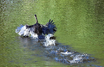 Photograph - Skedaddling Anhinga 4 by William Tasker