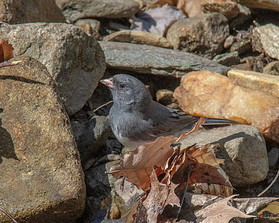Photograph - Slate-colored Junco Dsb0338 by Gerry Gantt