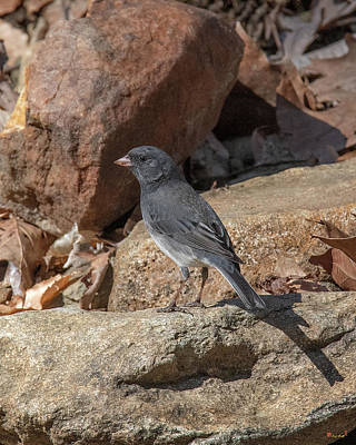 Photograph - Slate-colored Junco Dsb0339 by Gerry Gantt