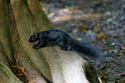 Photograph - Sleek Black Squirrel Eastern Gray by Sharon Talson