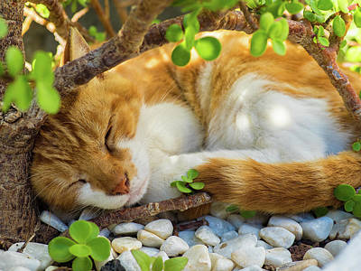 Curtis Patterson Rights Managed Images - Sleeping Cat Royalty-Free Image by Curtis Patterson
