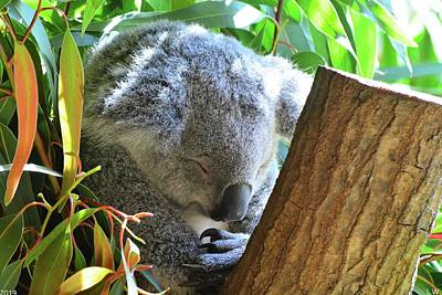 Photograph - Sleeping Koala by Lisa Wooten