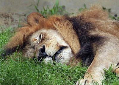 Wall Art - Photograph - Sleeping Lion by David G Paul