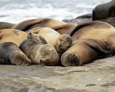 Sleeping Sea Lions Art Print by K Pegg
