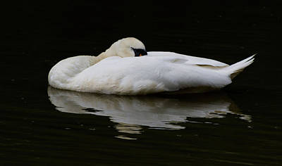 Photograph - Sleeping Swan Reflection by Scott Lyons
