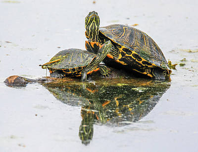 Photograph - Slider Turtle Reflections by Dan Sproul