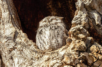 Photograph - Slumbering Screech Owl by Tony Hake