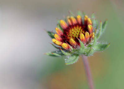 Photograph - Small Fall Sunflower About To Open by Barbara Rogers Nature Inspired Art Photography