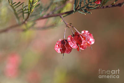 Photograph - Small Red Pod/flower by Joy Watson