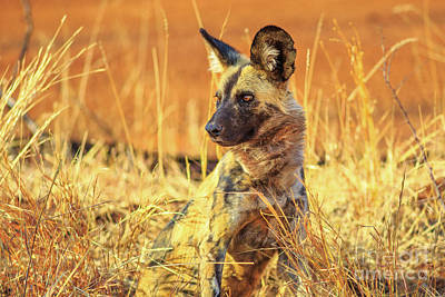 Photograph - Small Spotted Hyena by Benny Marty