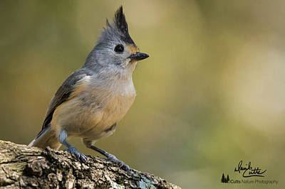 Photograph - Small Titmouse by David Cutts