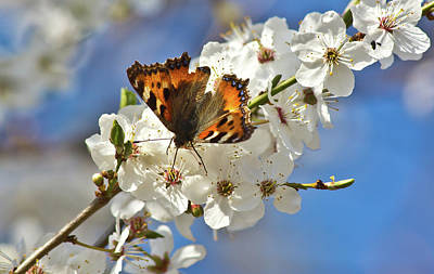 Insect Photograph - Small Tortoiseshell - Kleiner Fuchs by A.töfke Cologne Germay