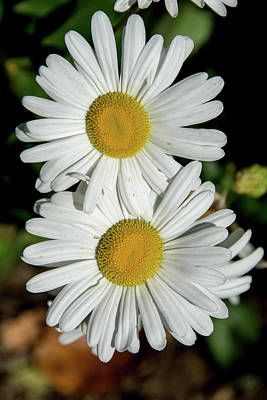 Photograph - Small White Daisies by Jennifer Wick