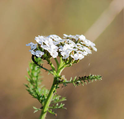 Photograph - Small White Flowers by Scott Lyons