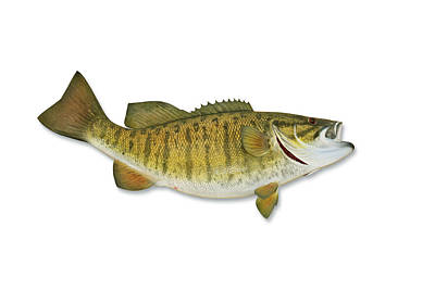 Smallmouth Bass With Clipping Path Art Print by Georgepeters