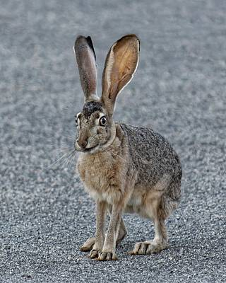 Photograph - Smirk Of The Jackrabbit by KJ Swan