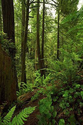 Photograph - Smith River Redwoods by TL Mair